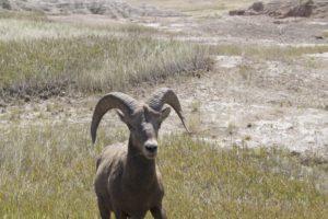 2015_trip4_goat